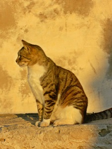 Katze im Abendrot. Foto: Schattauer